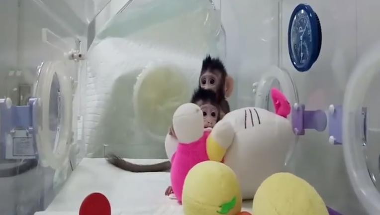 Monkey Clones Hua Hua and Zhong Zhong