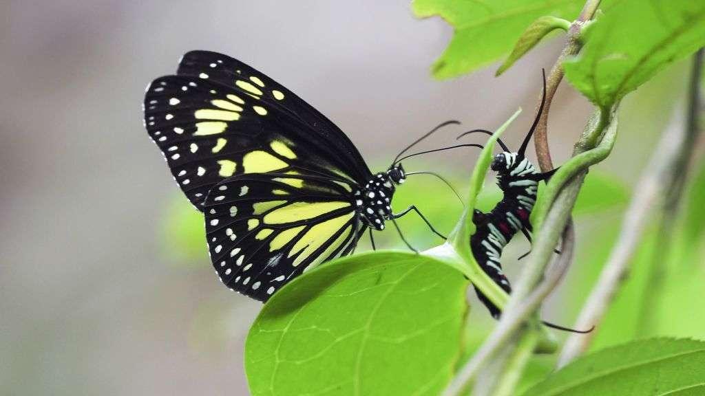 Cannibal vampire butterflies attack their caterpillars, then suck out their guts